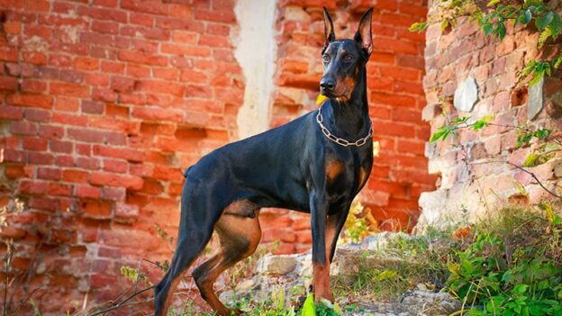 best collar for doberman
